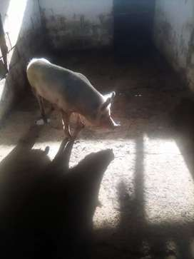 Pig sow pregnant