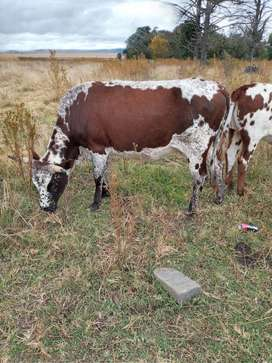 Female cows for sale
