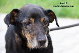 Anatol - starszy, wrażliwy psiak