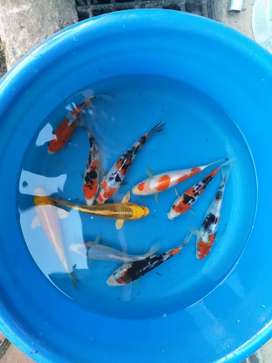 Import koi available