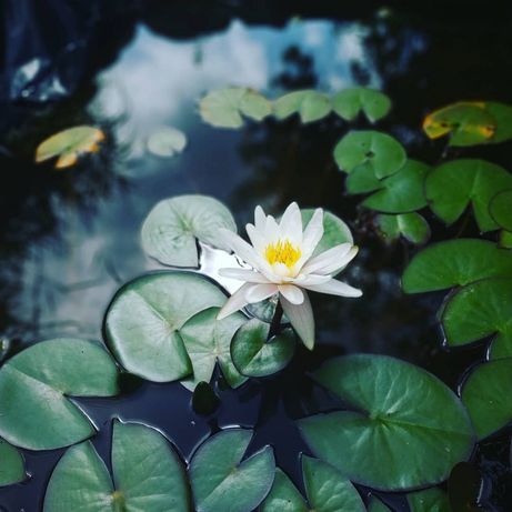 Продам нимфеи, водяные лилии, для пруда