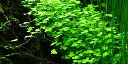 Hydrocotyle tripartita 'Japan'