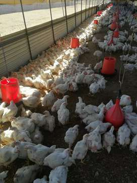Live Broiler Chickens (Ross 308)