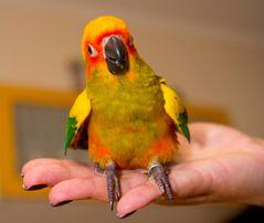 Продам попугая солнечного Аратинга