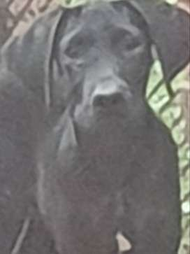 Lovely male great dane puppy for sale.