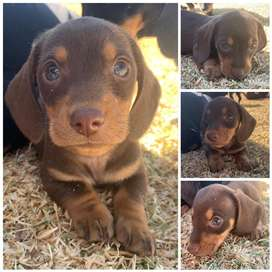Miniature dachshund male puppy for sale