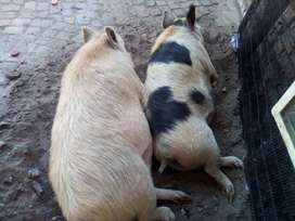2 Pregnant Pigs for sale