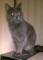 Молодой кот британец ищет кошечку для вязки