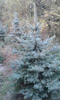Jodła Świek choinki serbski srebrny biały oraz inne ciekawe gatunki .