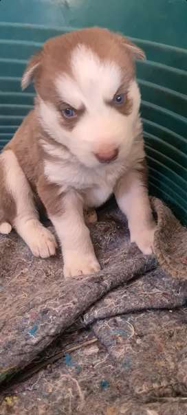 Siberian Husky male pup available