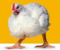 Реализуем суточных цыплят и инкубационное яйцо кур кроссов