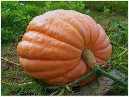 Семена тыквы Титан урожайный, средне-поздний сорт - 10 грамм