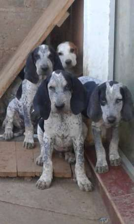 Red or Blue tick hounds