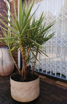 Plant and pot for sale