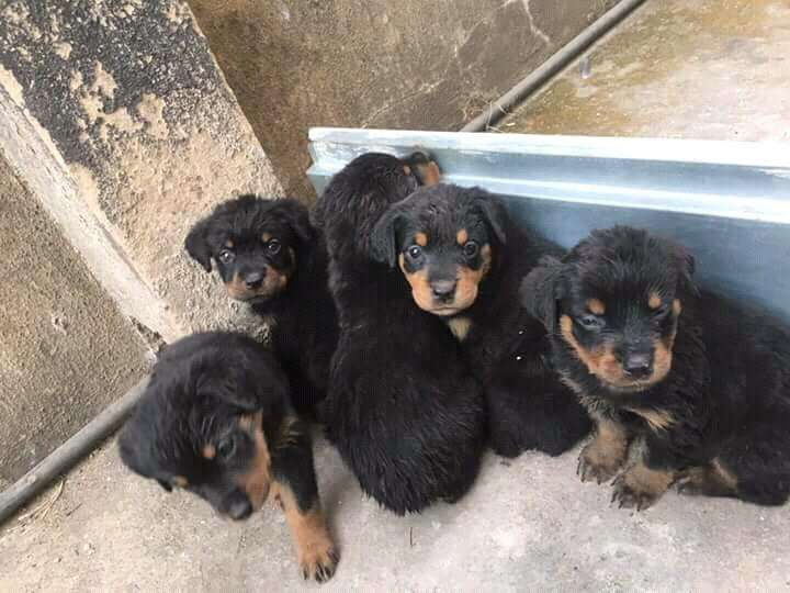 Rottweiler puppies pure 0