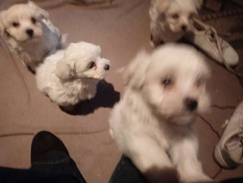 Maltese Puppies 0