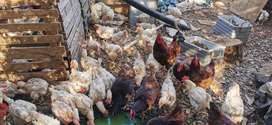 R75 Each Off Layer 18Months+ Old ( Hard Body Chickens )