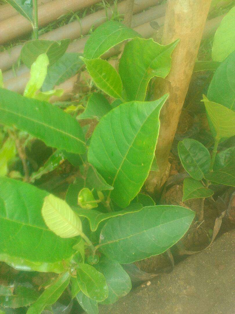 Jackfruit seedlings 0