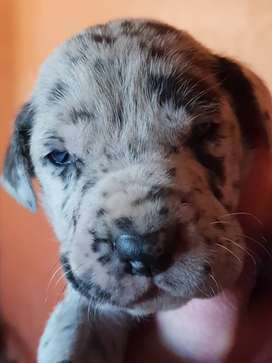 Lovely great dane puppies for sale