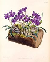 KWIATY STORCZYKI - Orchidee reprint XIX w. grafik 30x20 cm