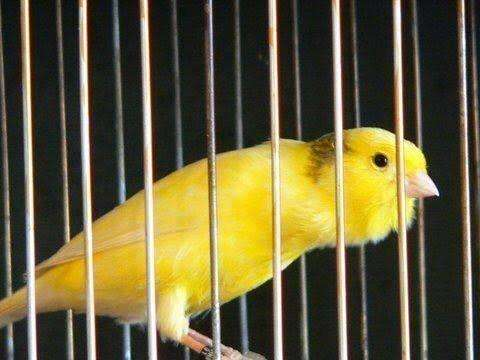 Canaries for sale 0