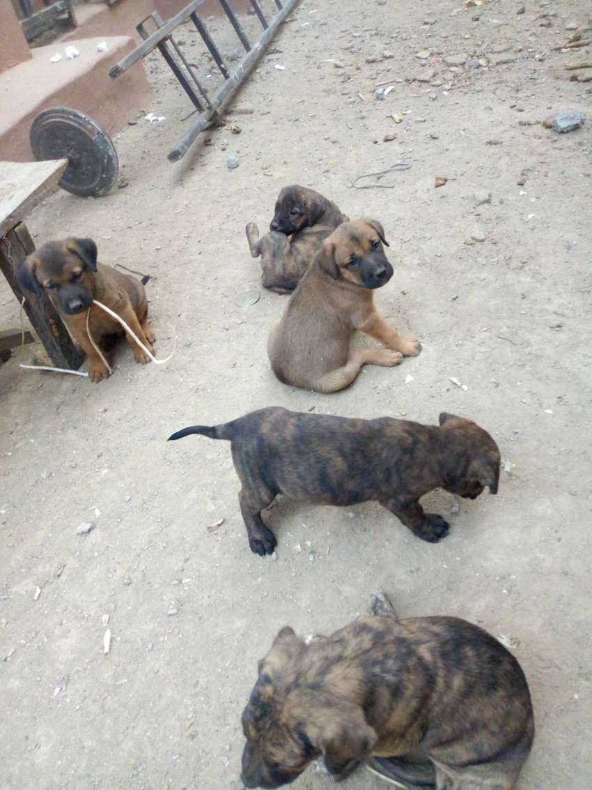 Correct Puppies for Sale 0