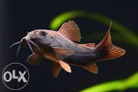 оптово розничный центр продажи аквариумных рыбок с Харькова Киев - изображение 2