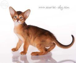 Абиссинский котенок - американский тип
