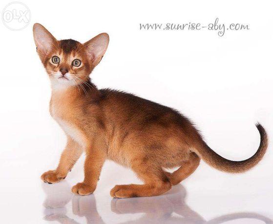 Абиссинский котенок - американский тип Киев - изображение 1