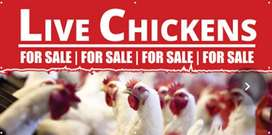Live Chickens / Broilers R50