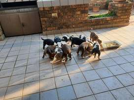 Border Collie X breed puppies for sale.