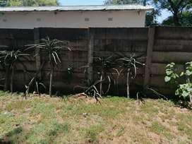 Tree Aloes