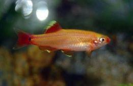 kardynałek złoty i inne rybki z domowej hodowli