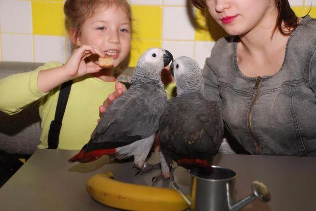 птица говорун -Жакун, Жако алохвостый африканец Киев - изображение 3