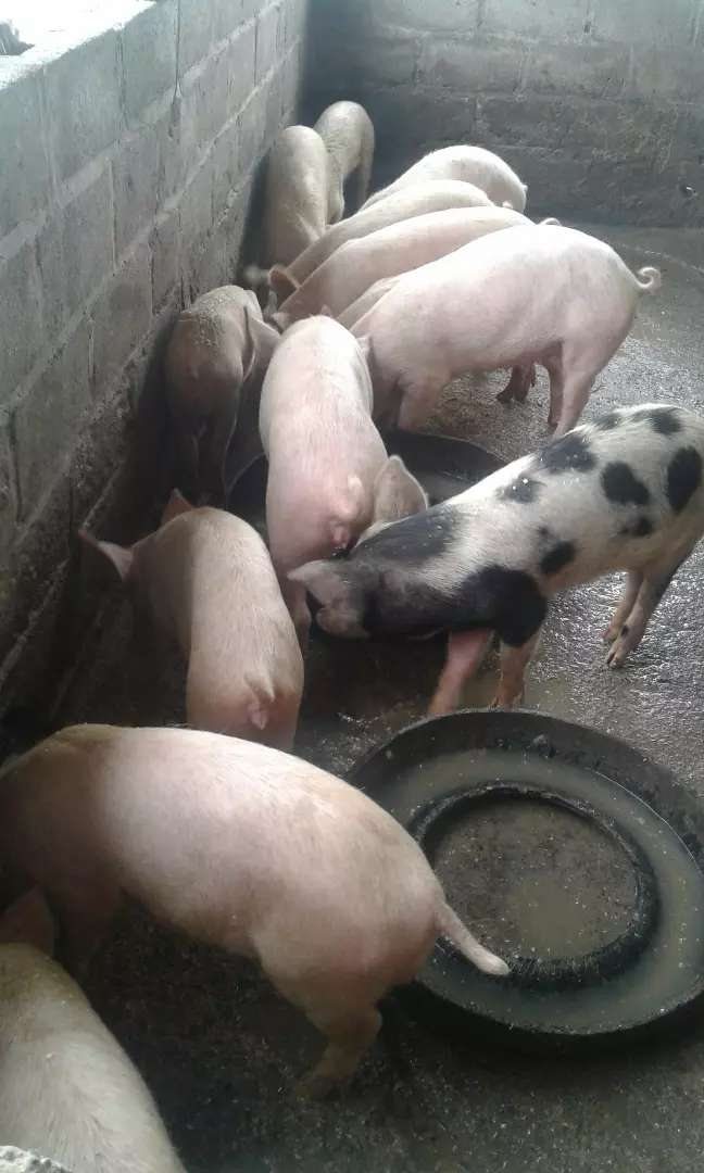 3 month pigs for sale
