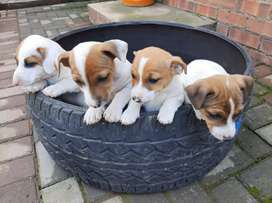 Jack  Russell short  leg puppies for sale.