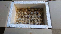 Инкубационное перепелиное яйцо белого техасского перпела