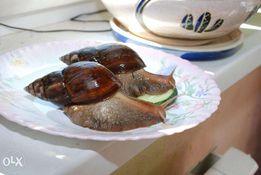 Гігантський африканський равлик ахатіна - різні види ахатін