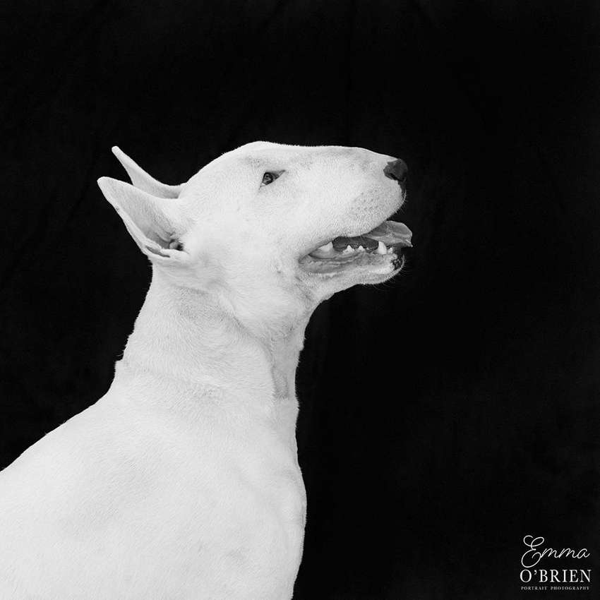 imported bull terrier puppies 0