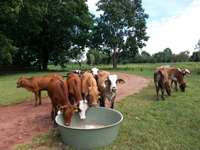 Image of 250 mixed calves for sale in a good condition