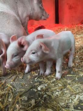 Pig - Breeding Herd and babies for sale