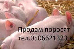 Поросята 45дней . с.Качкаровка
