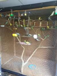 Image of Budgies for Sale - R50 each