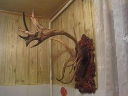 Рога оленя .большие и красивые