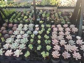 Succulent Plants for sale at a crazy price only R10 each - Kyalami