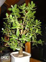Денежное дерево или Крассула или Толстянка. Большие размеры.Есть много
