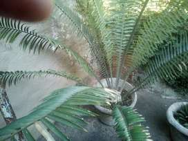 About 25 cycads for sale, negotiable