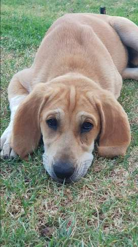 Anatolian Hounddog cross puppy for sale