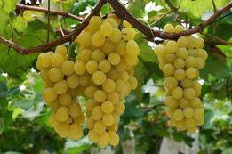 Обрезка, винограда,плодовых деревьев.Услуги садовника.
