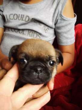 Pug X puppies for sale
